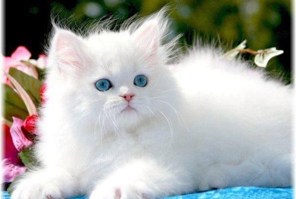 تفسير حلم القطط البيضاء الصغيرة