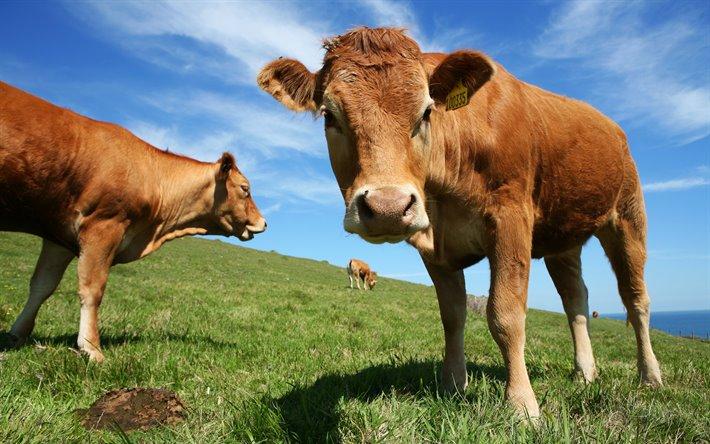 ما تفسير رؤية البقرة في المنام للمتزوجة